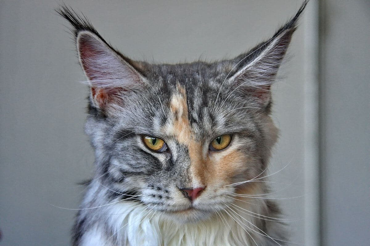 maine coon tabby cat staring with very pointy ears
