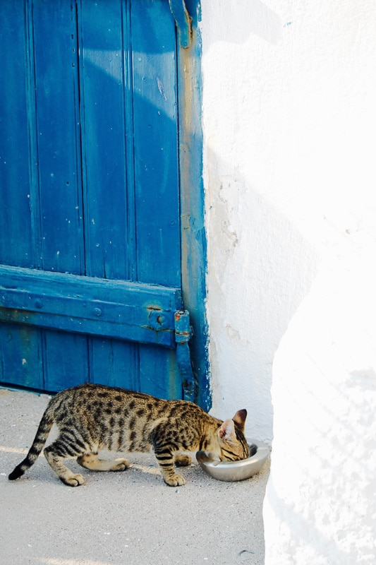 moggy cat with blue door on white building behind