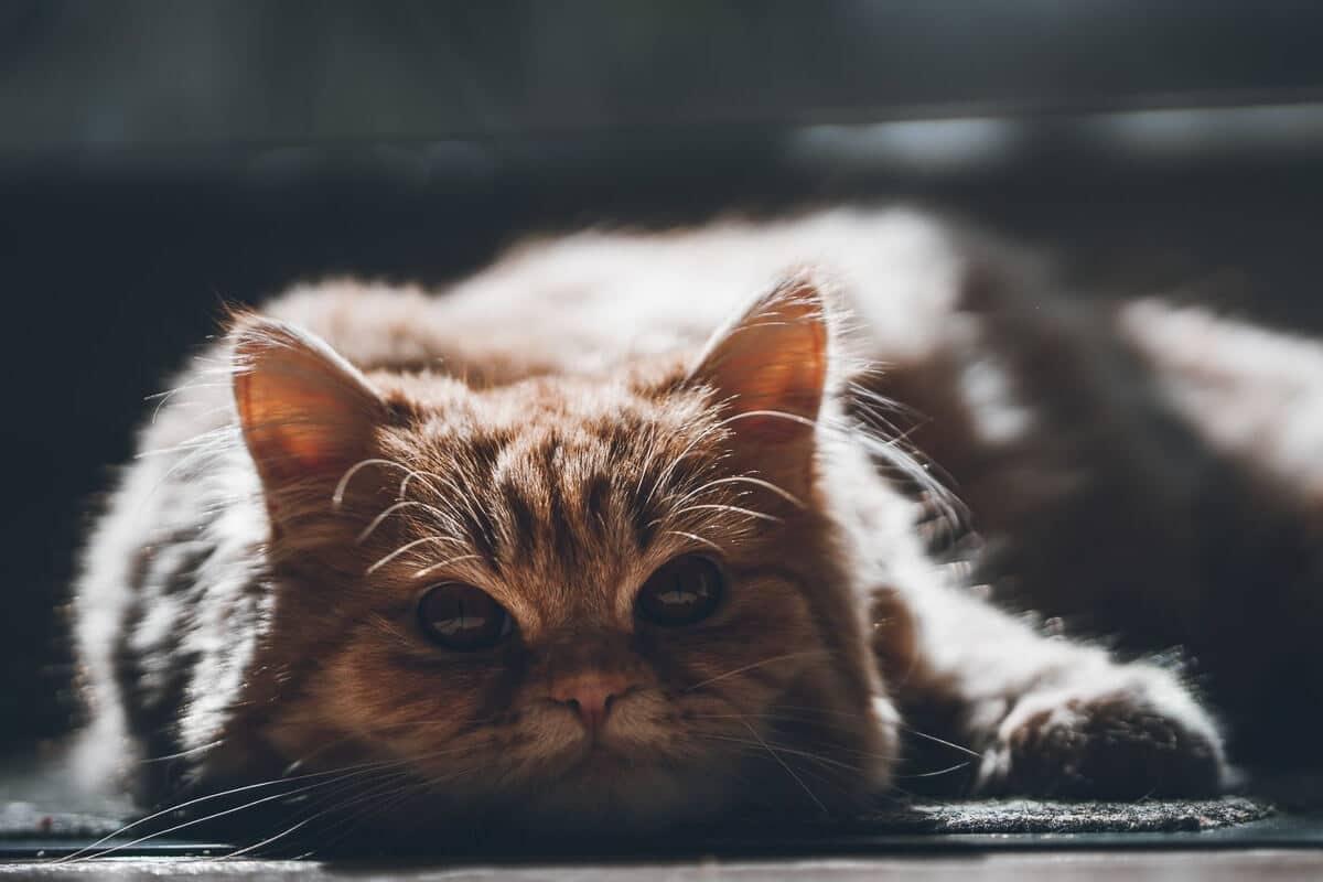 tabby persian cat lying down