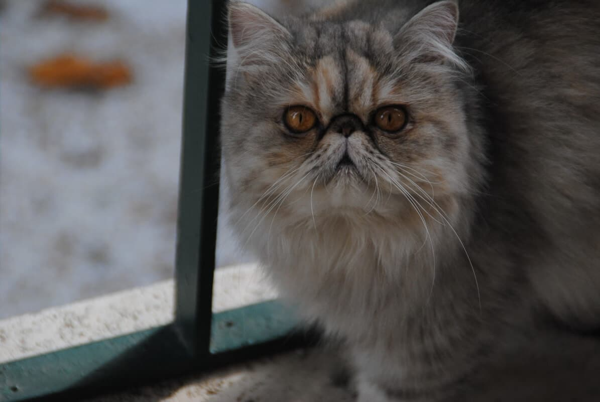 tabby persian-cat-staring