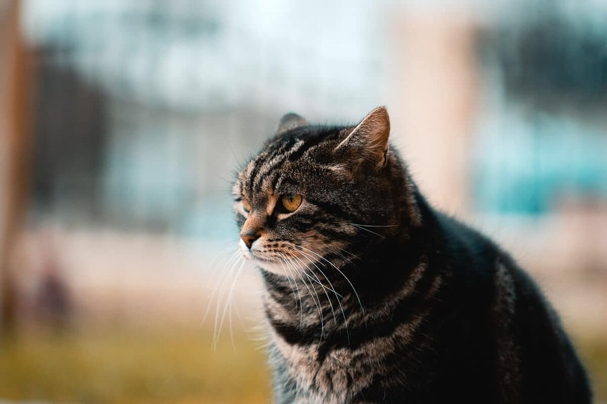 tabby cat in side profile with blurred background