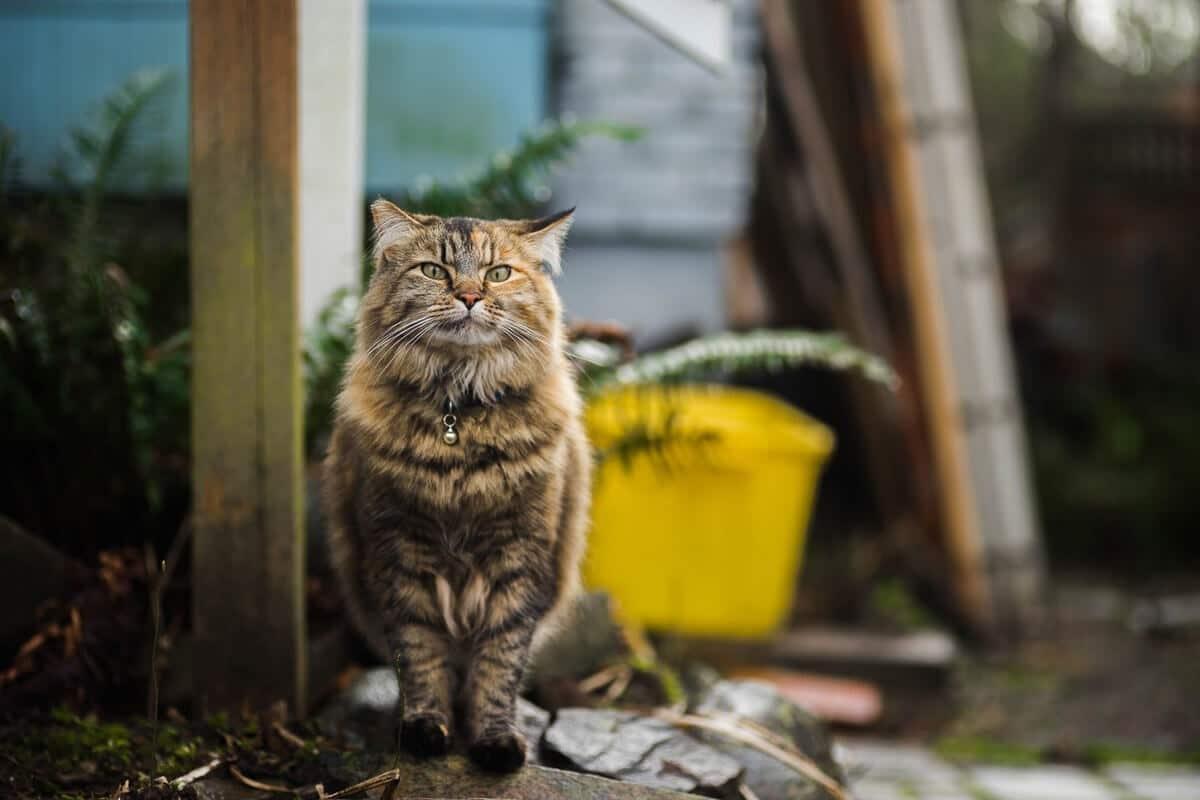 tabby cat outdoors