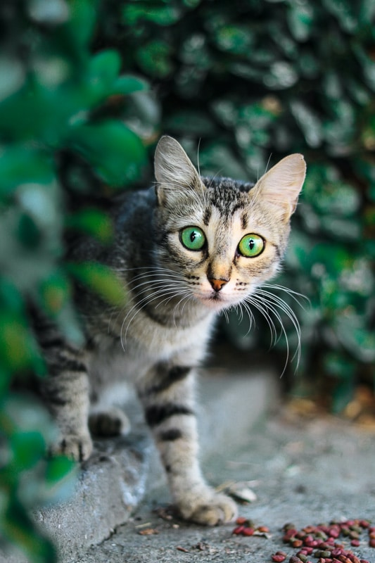 tabby cat with green eyes with greenery behind