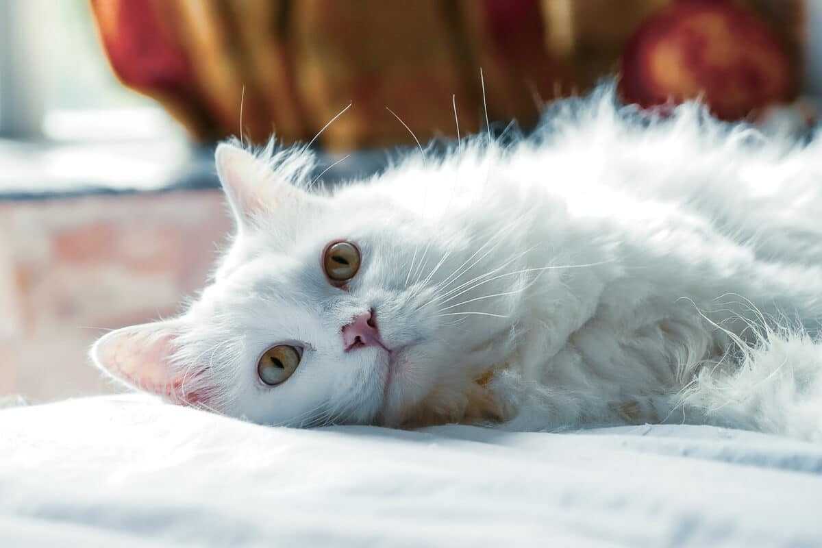 Persian Cat Grooming: Everything You Need to Know