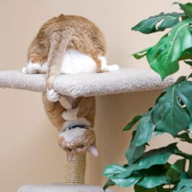 Ginger cat upside down on a scratching tree why do cats chase their tails