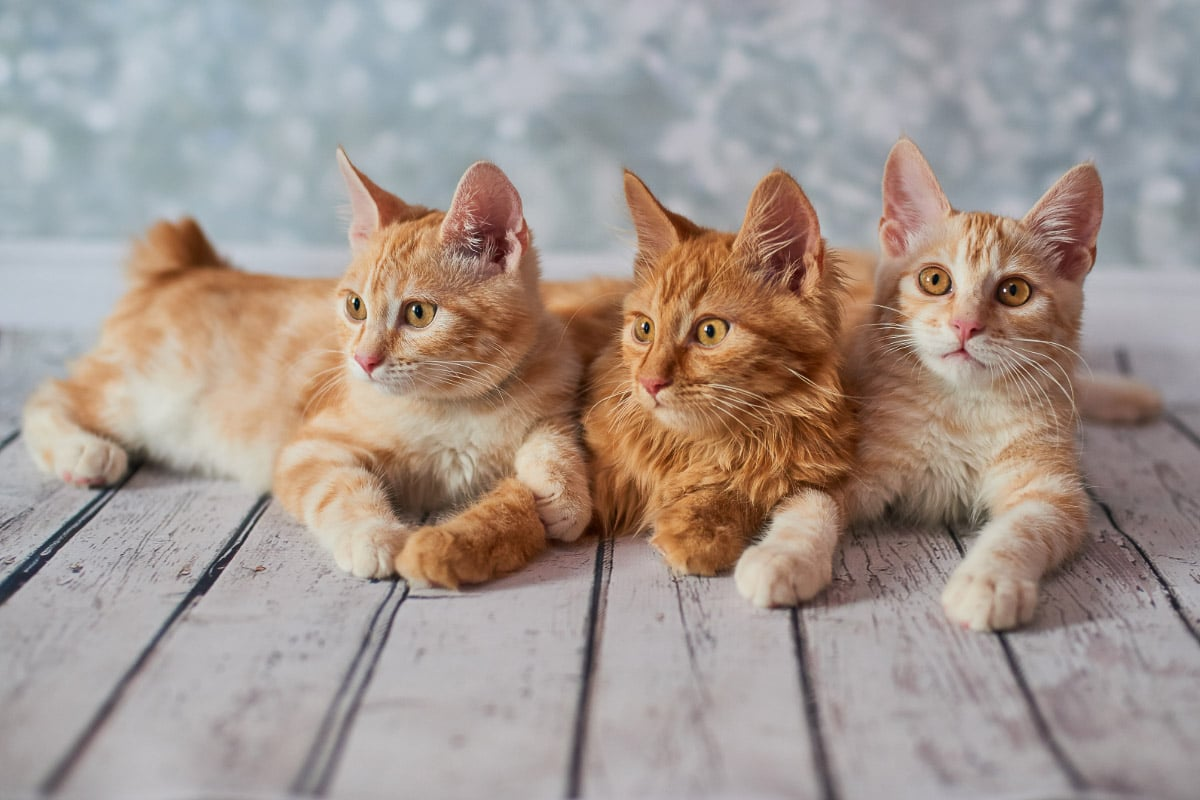 3 ginger american bobtail cats