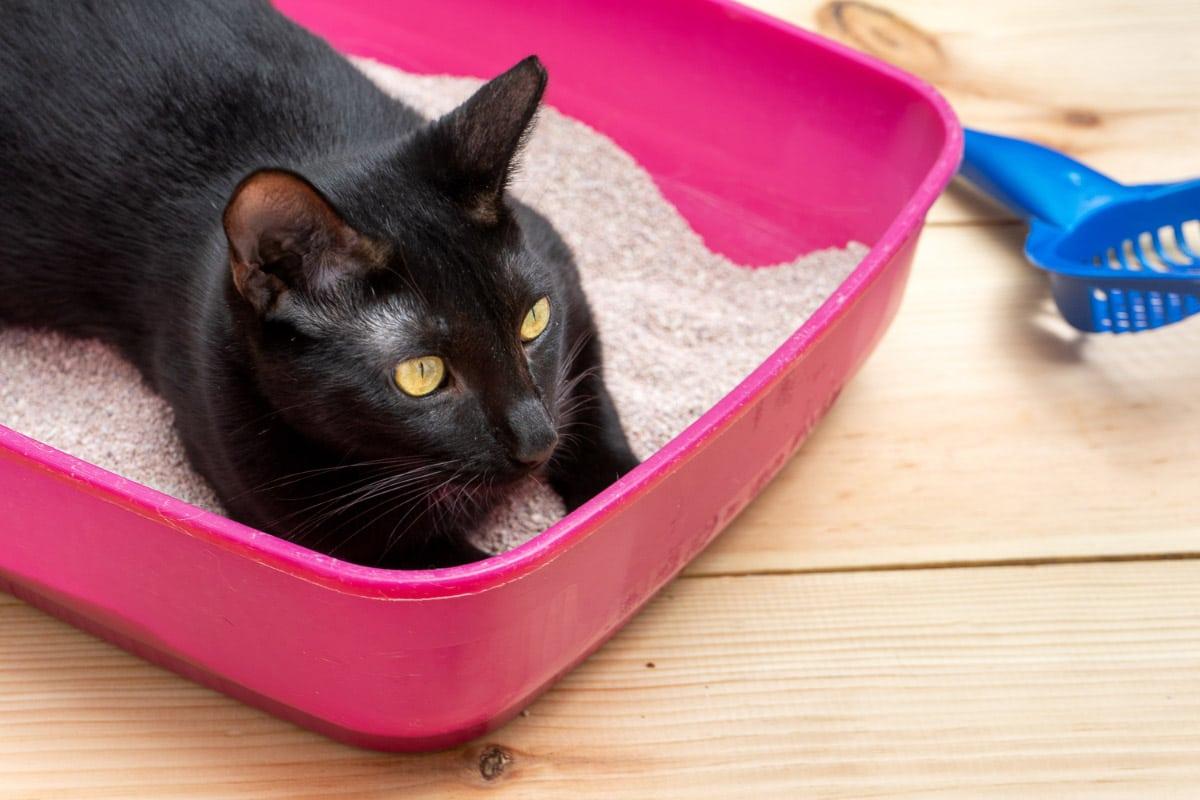 black cat in pink litter box