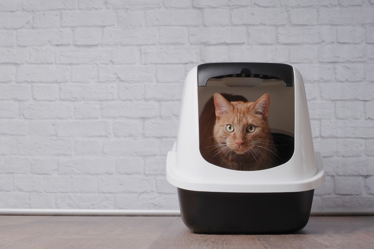 cat in portable kitty litter box
