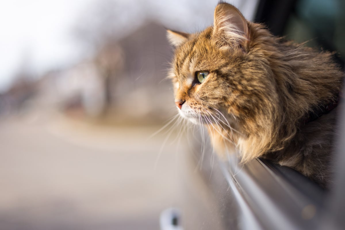 cat with head out car window