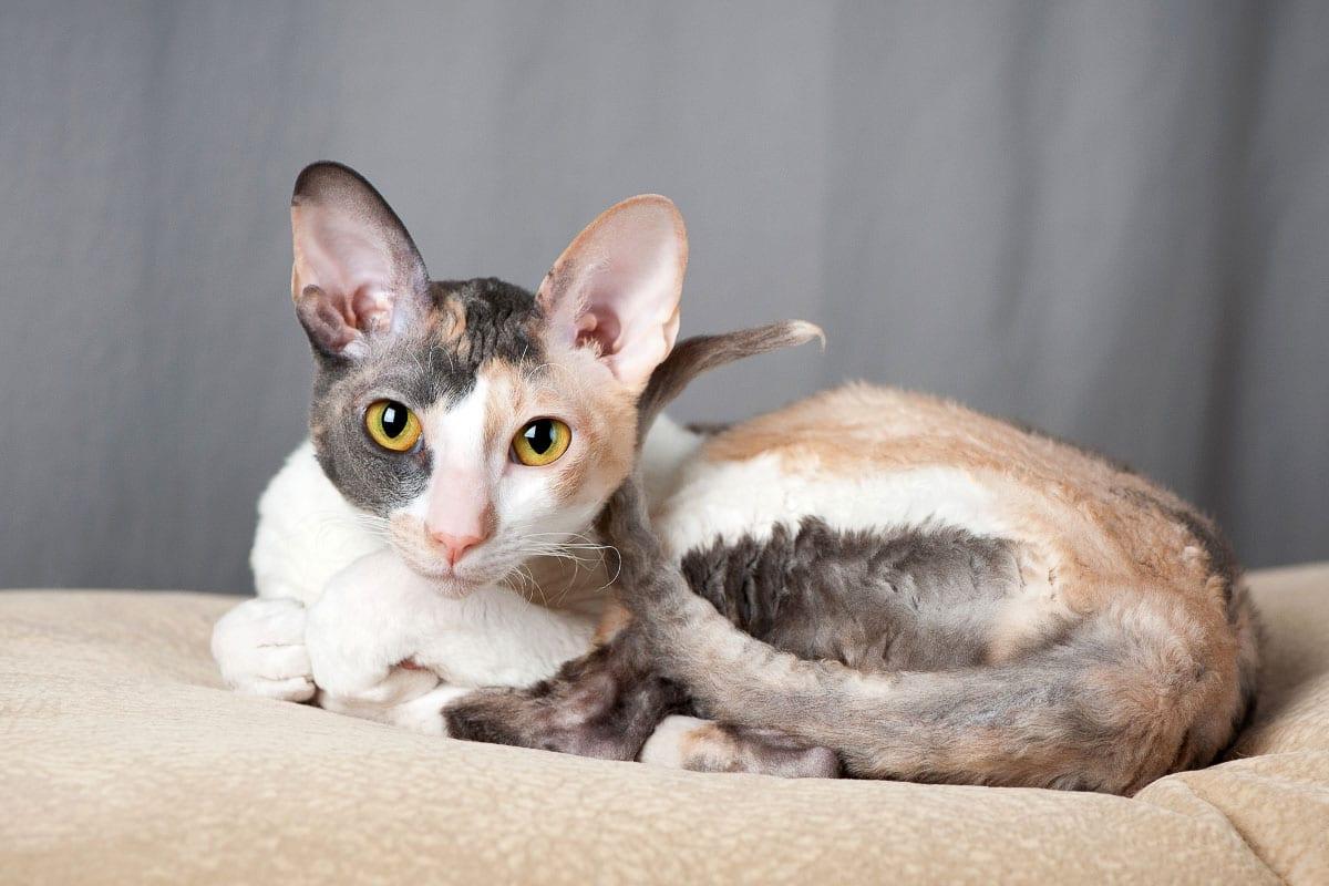 cornish rex cat tabby