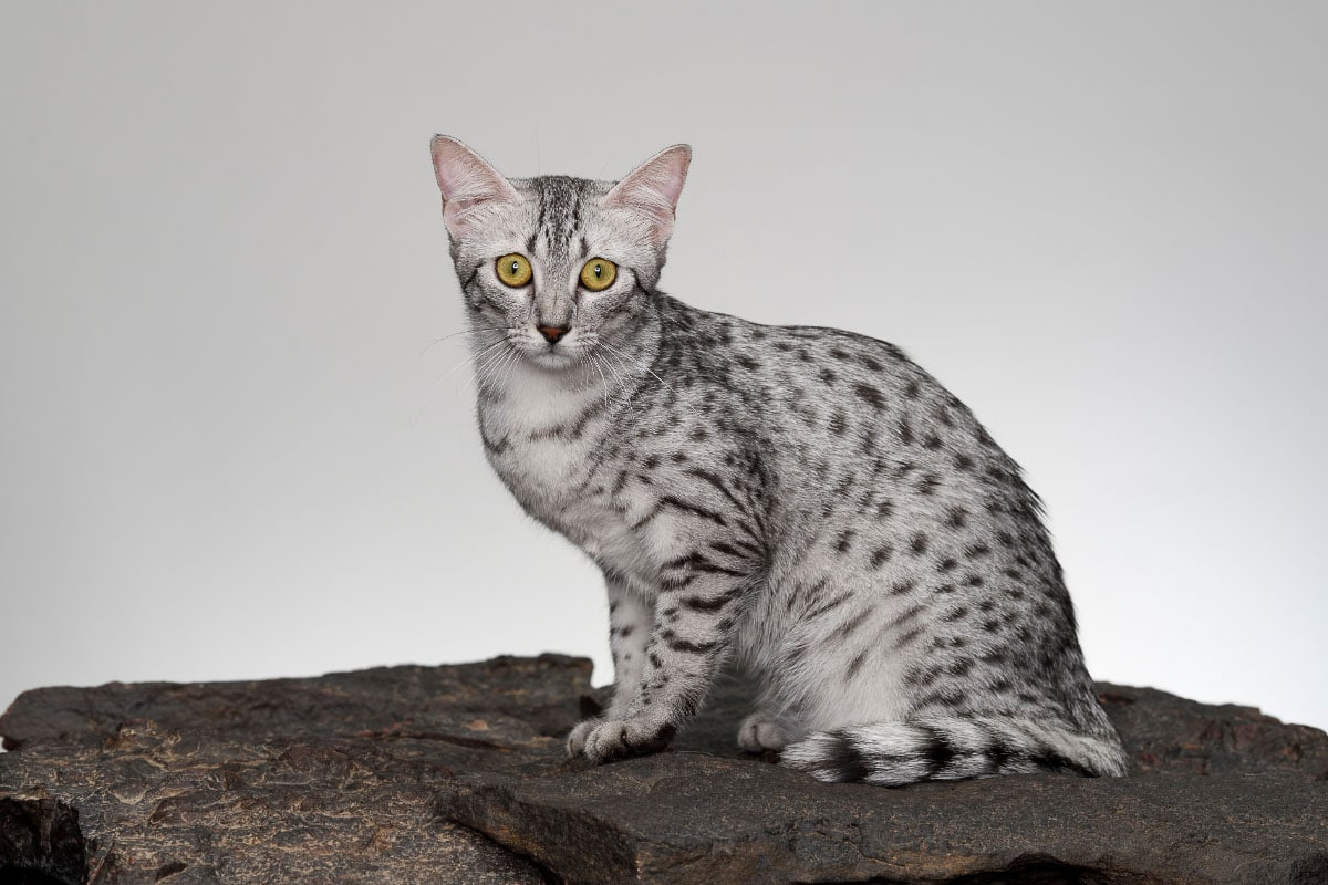 11 Rare Cat Breeds you Might Not Know