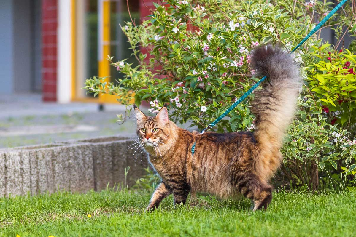 ginger tabby with very fluffy tail outside on a lead