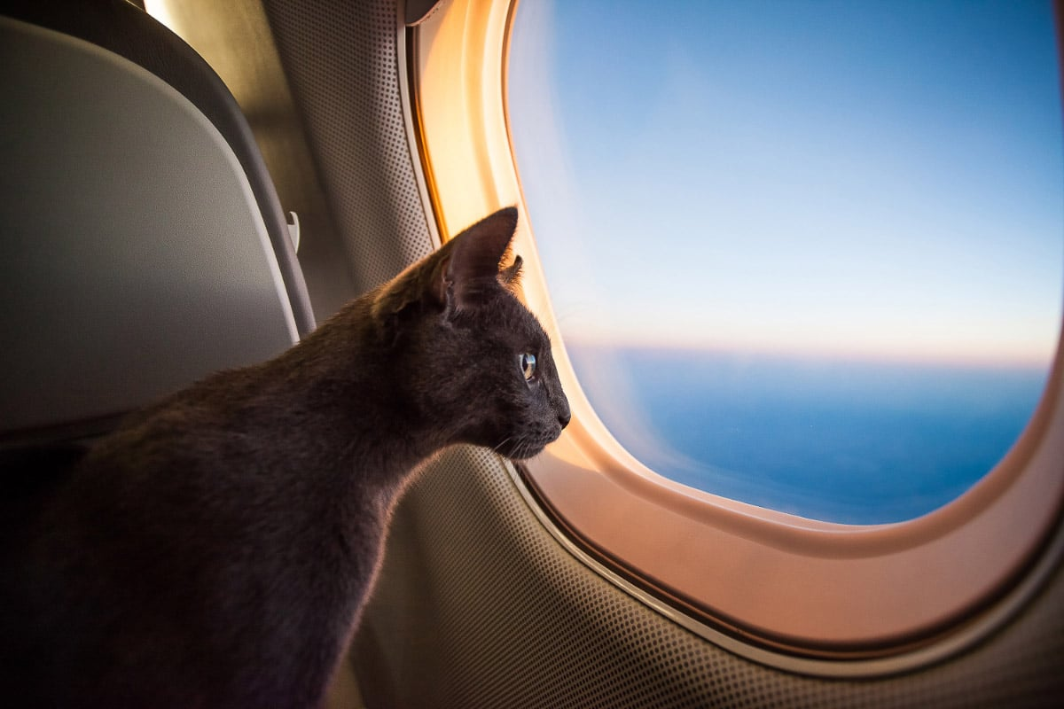 grey cat looking out window on plane