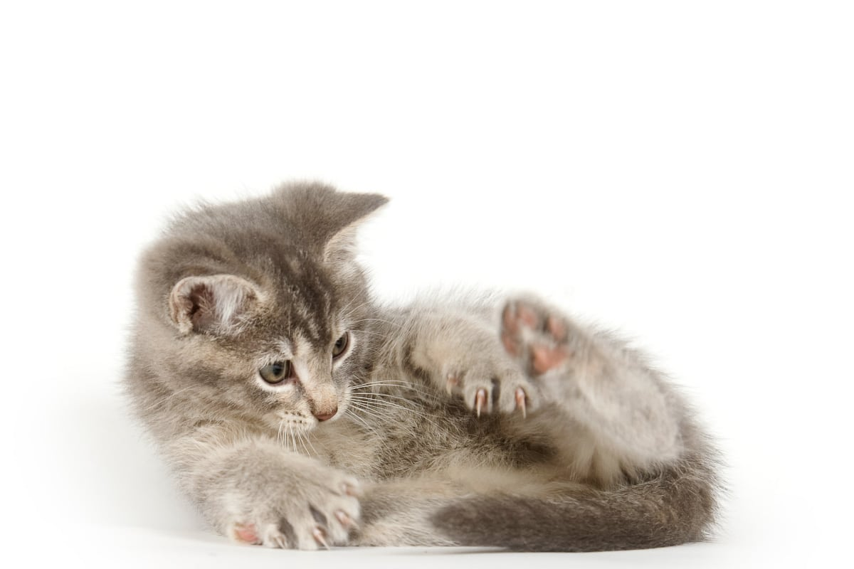 grey kitten curled up looking at its tail why do cats chase their tails