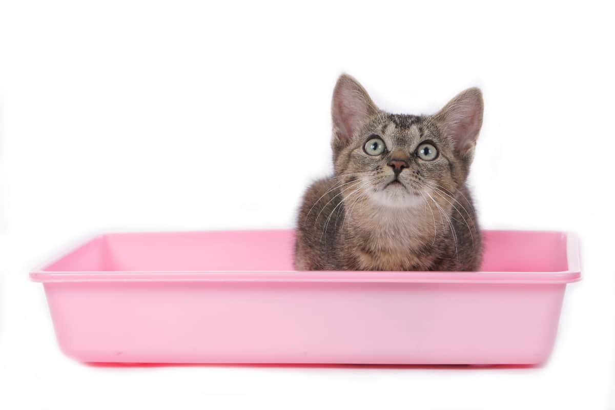 kitten in pink litter box
