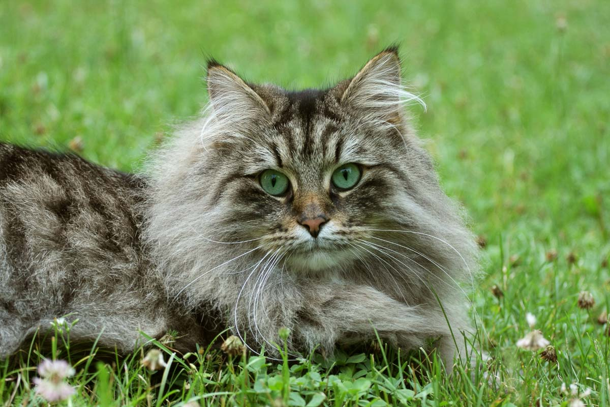 Norwegian forest cat with green eyes