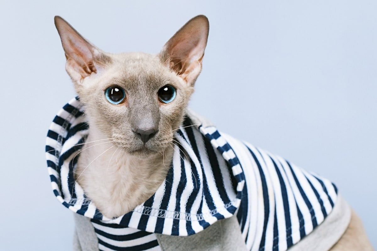 Peterbald cat in blue and white striped top