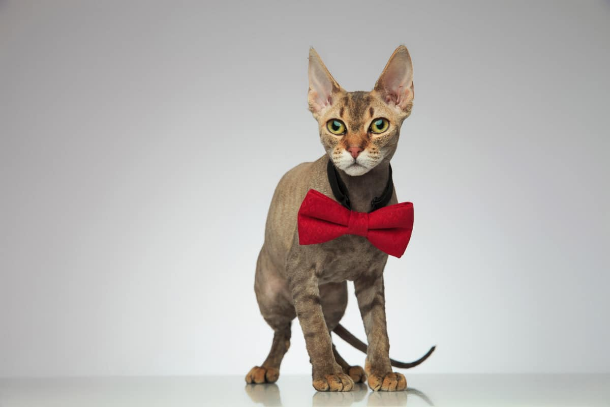 Peterbald cat with red bow