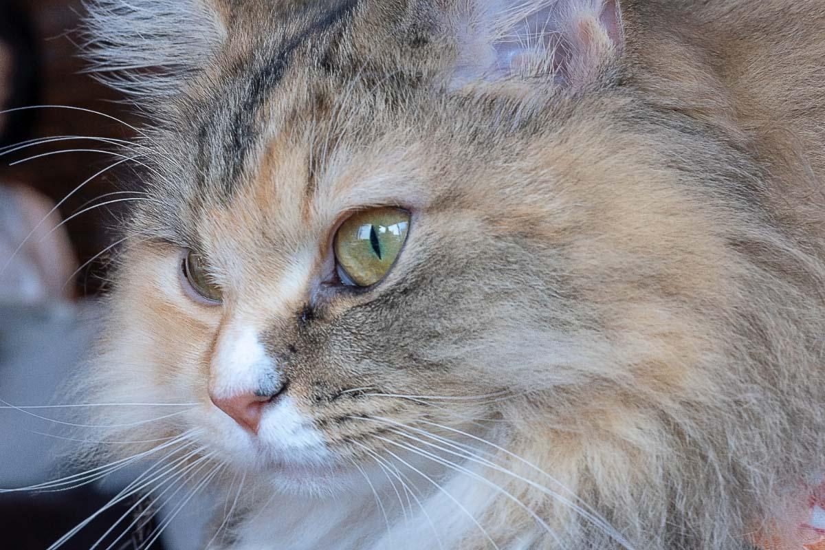 ragamuffin cat eye shot in profile