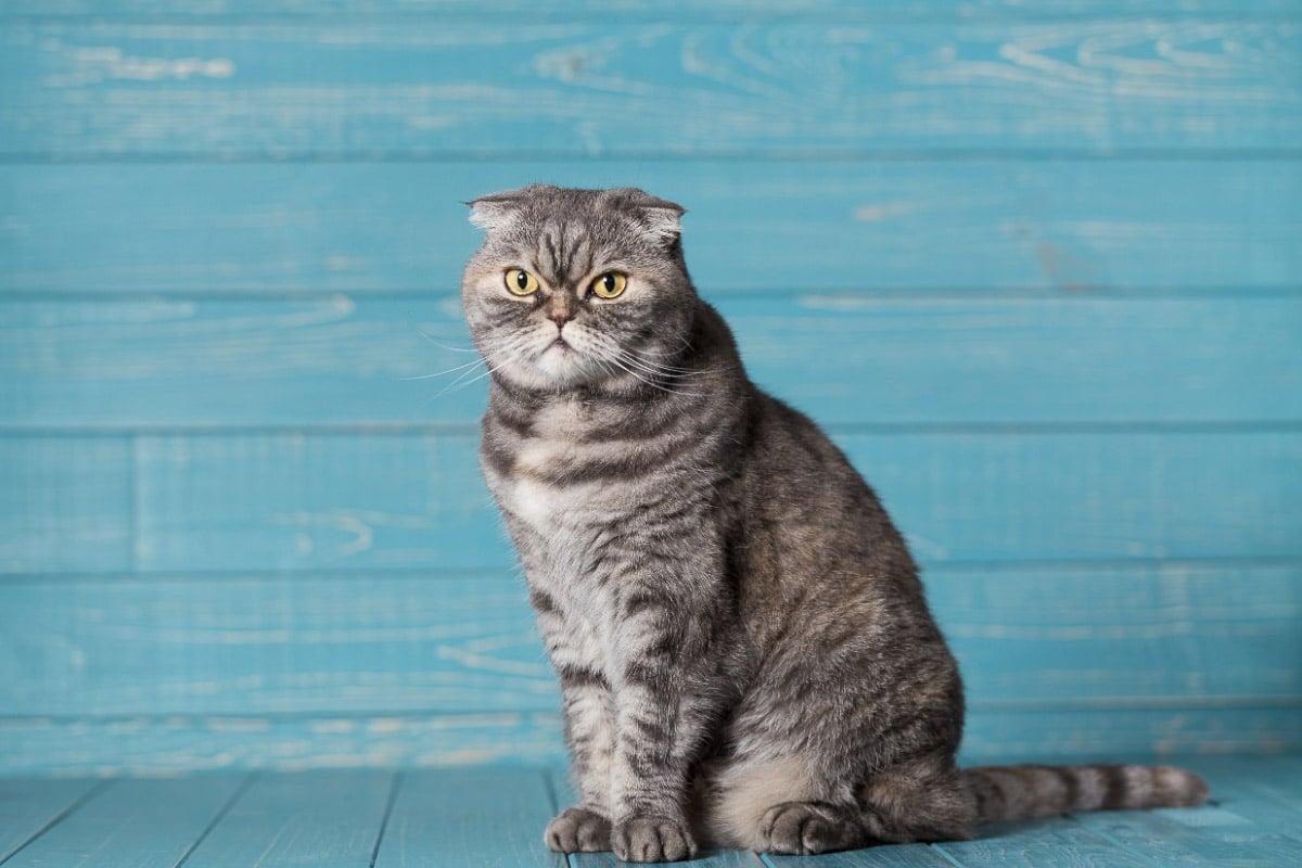 scottish fold cat against blue background
