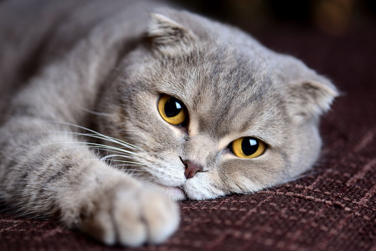 Scottish fold cat with yellow eyes one of the big eyed cat breeds
