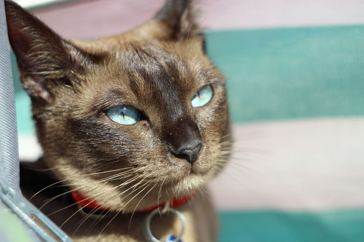 Tonkinese cat with aqua eyes