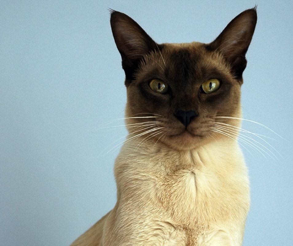 tonkinese cat dark face