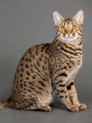 savannah cat full body