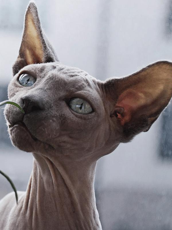 grey sphynx cat with green eyes