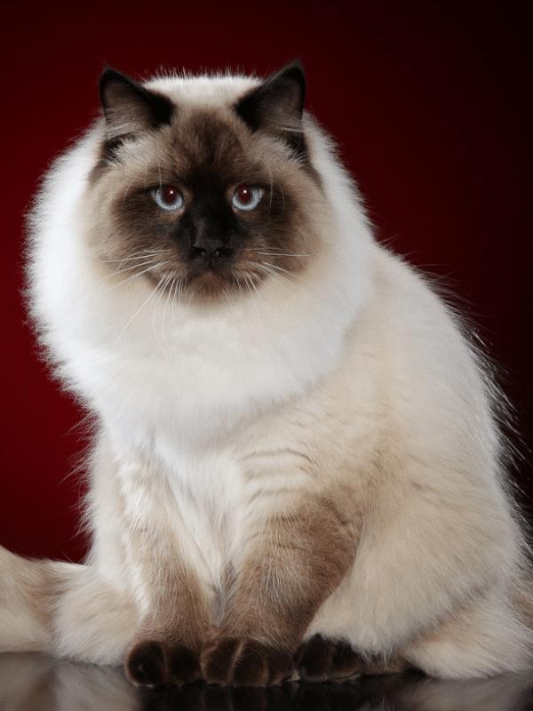 Neva masquerade siberian Cat