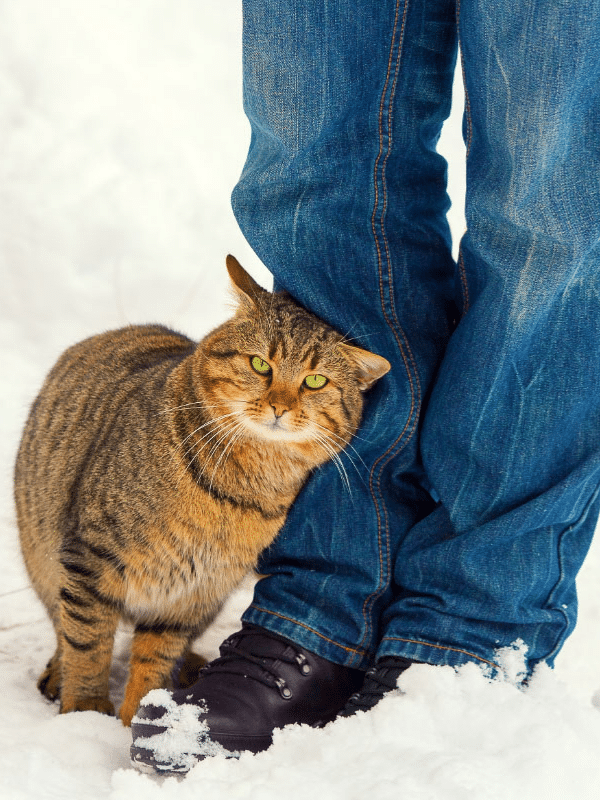 golden tabby cat leans against person in jeans