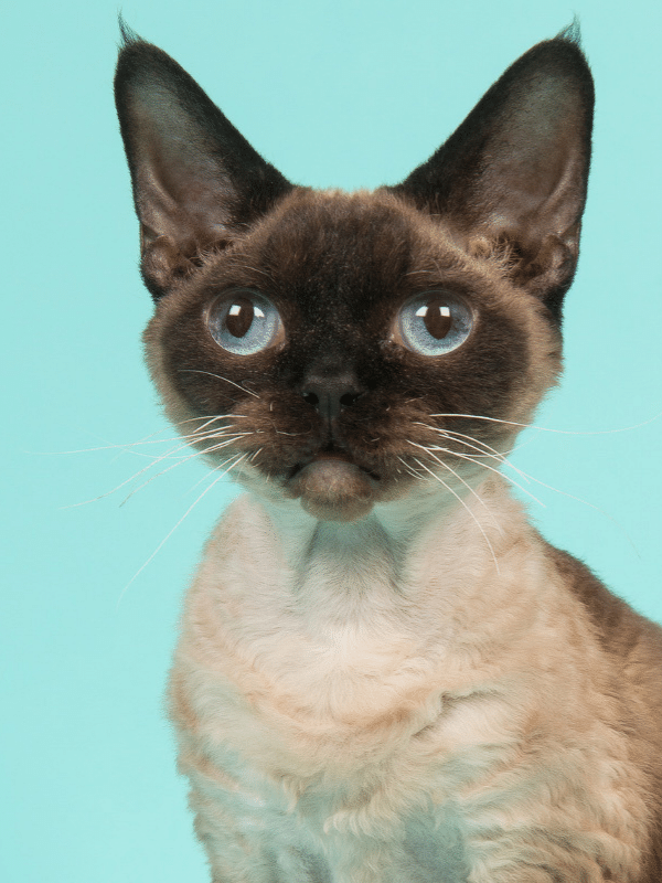 devon rex cat with big blue eyes