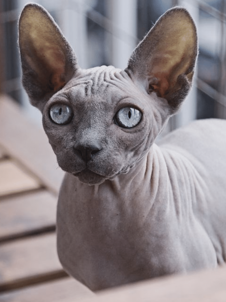 sphynx cat with blue eyes