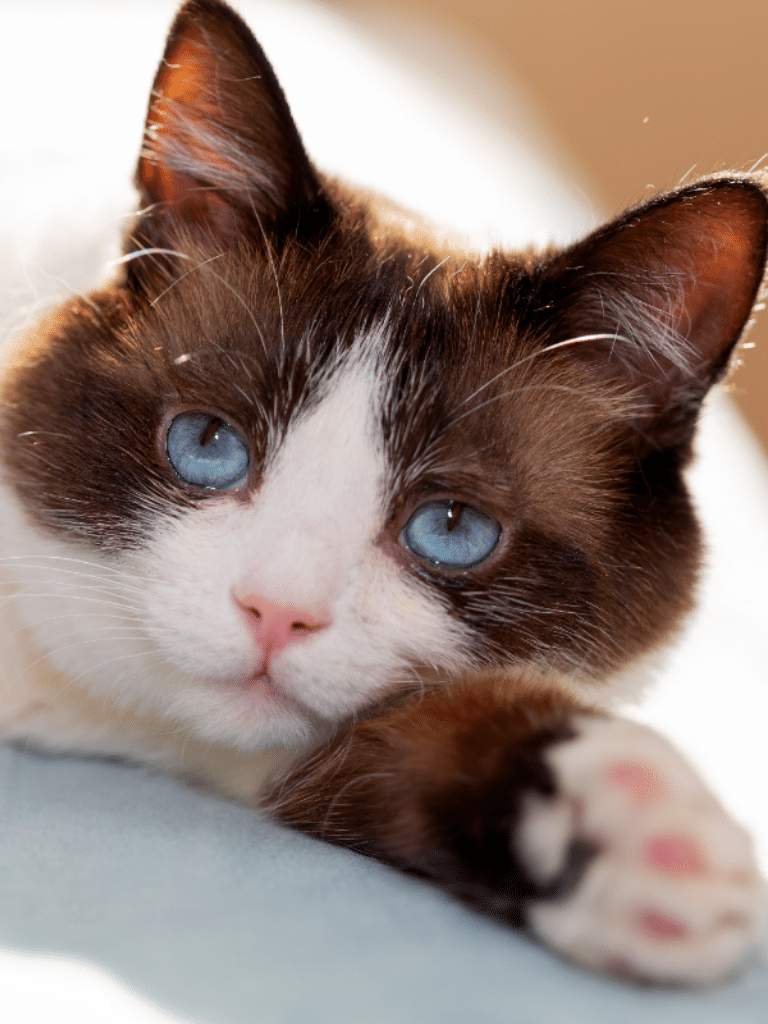 snow shoe cat with blue eyes