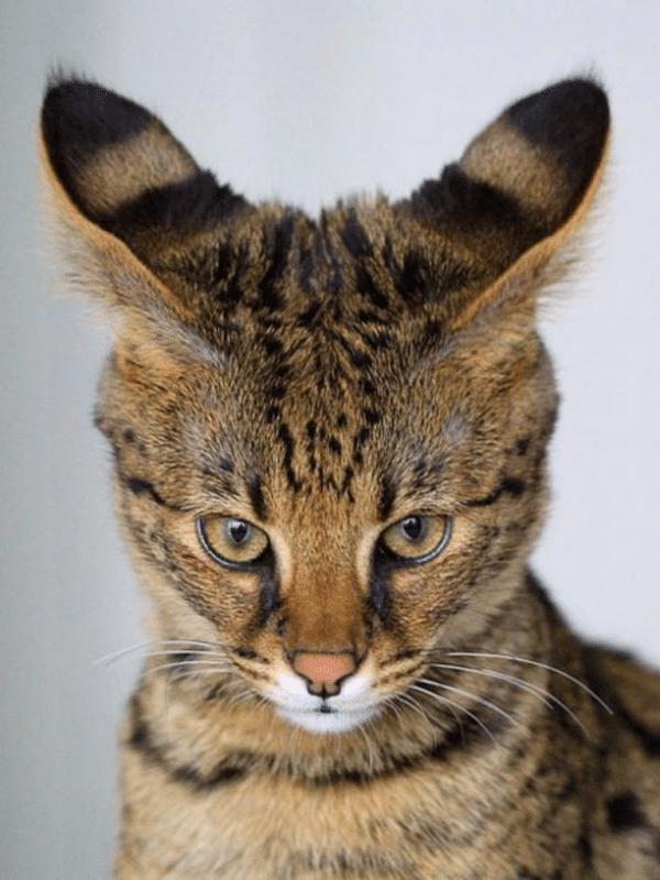 savanna tabby cat staring