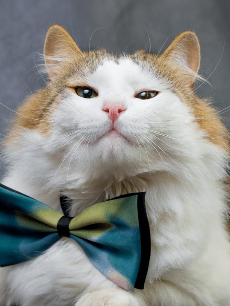 ragamuffin cat wearing bow tie
