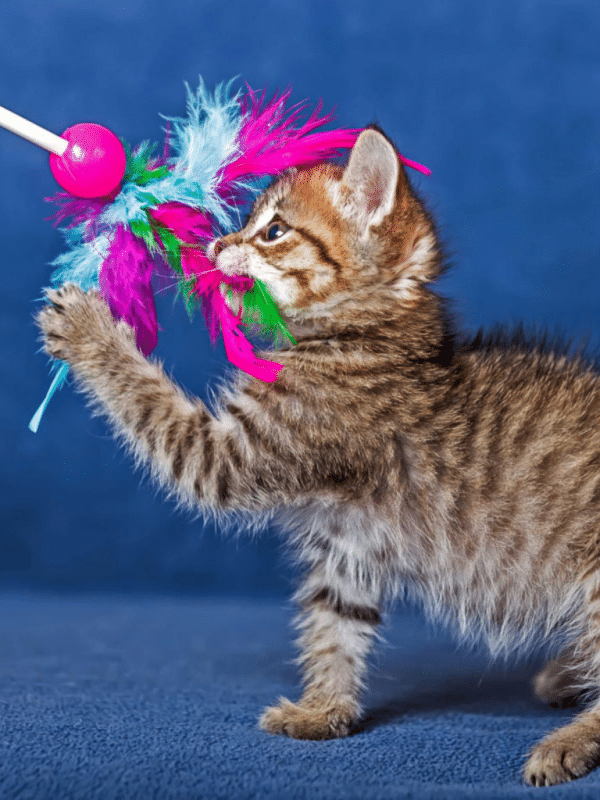 tabby kitten plays with colourful toy