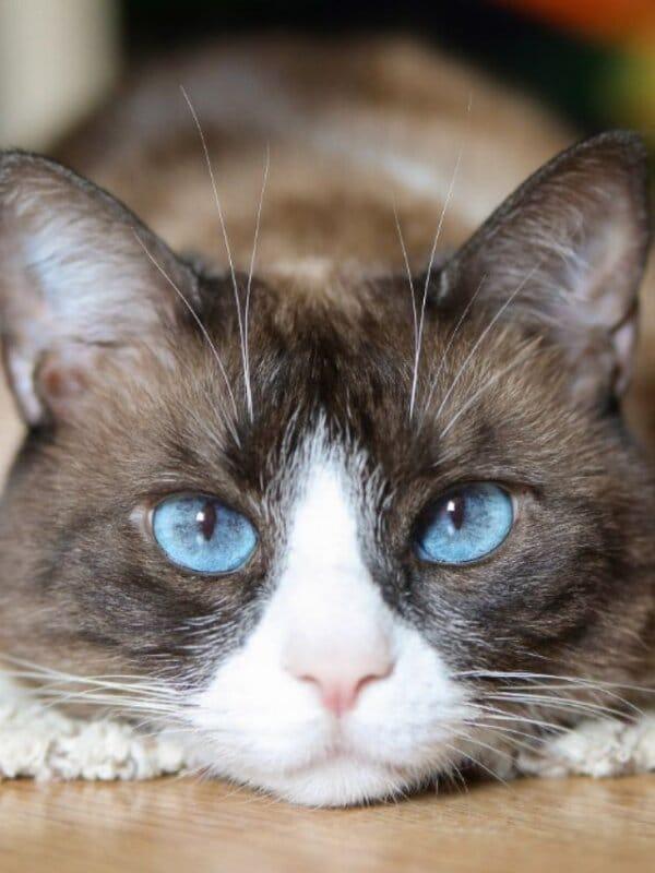 blue eyed snow shoe cat