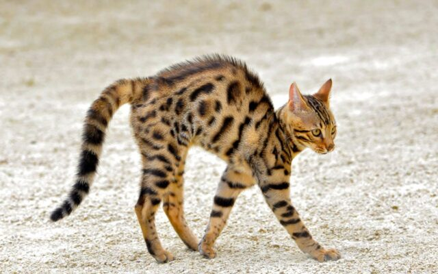 bengal cat with back arched walking