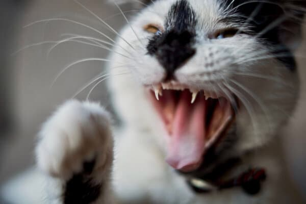 black and white cat with mouth open