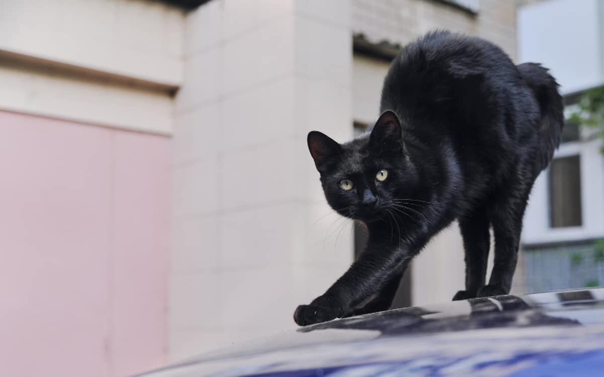 black cat arches back on top of car