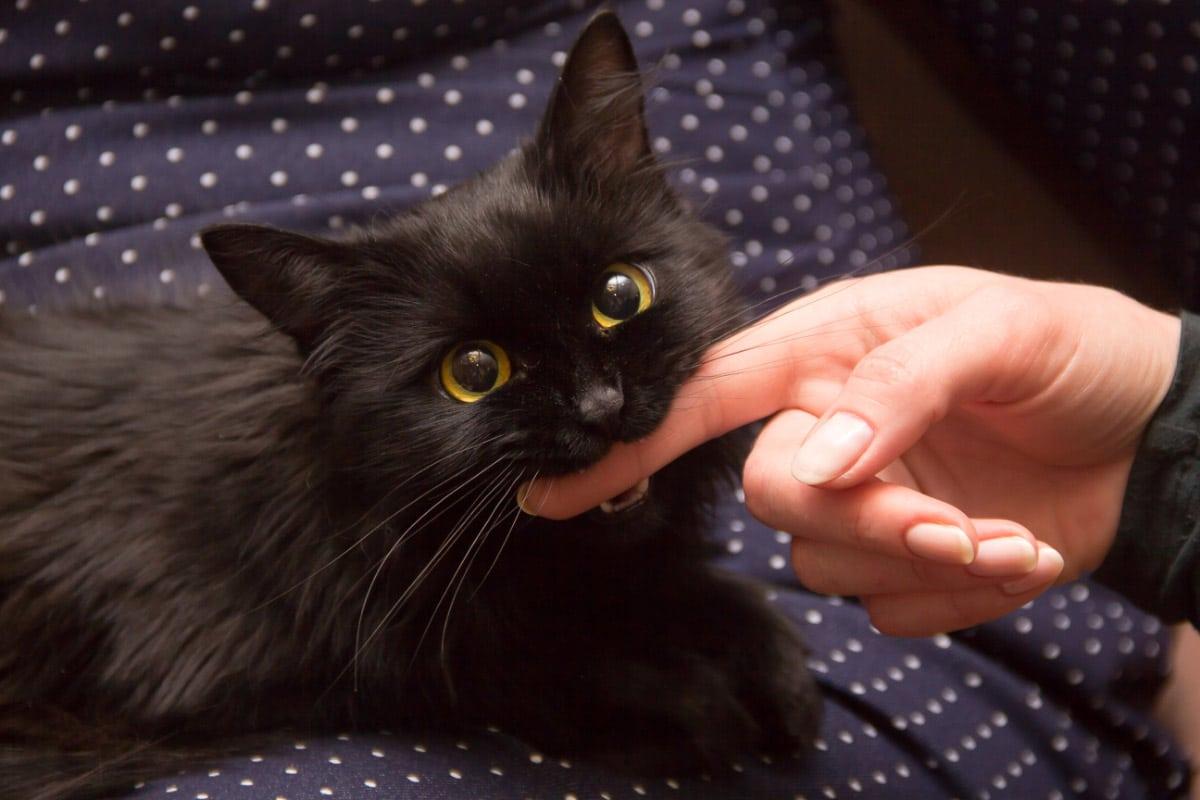 black kitten biting a person's finger