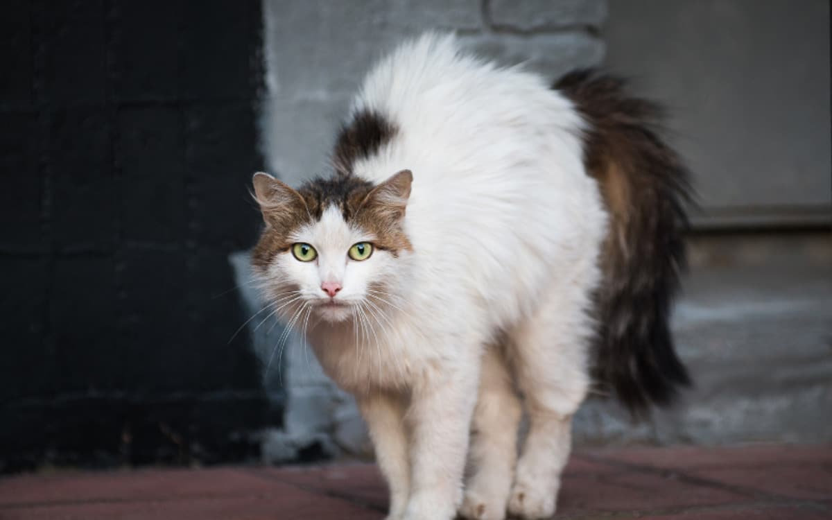 brown and white fluffy cat arches back