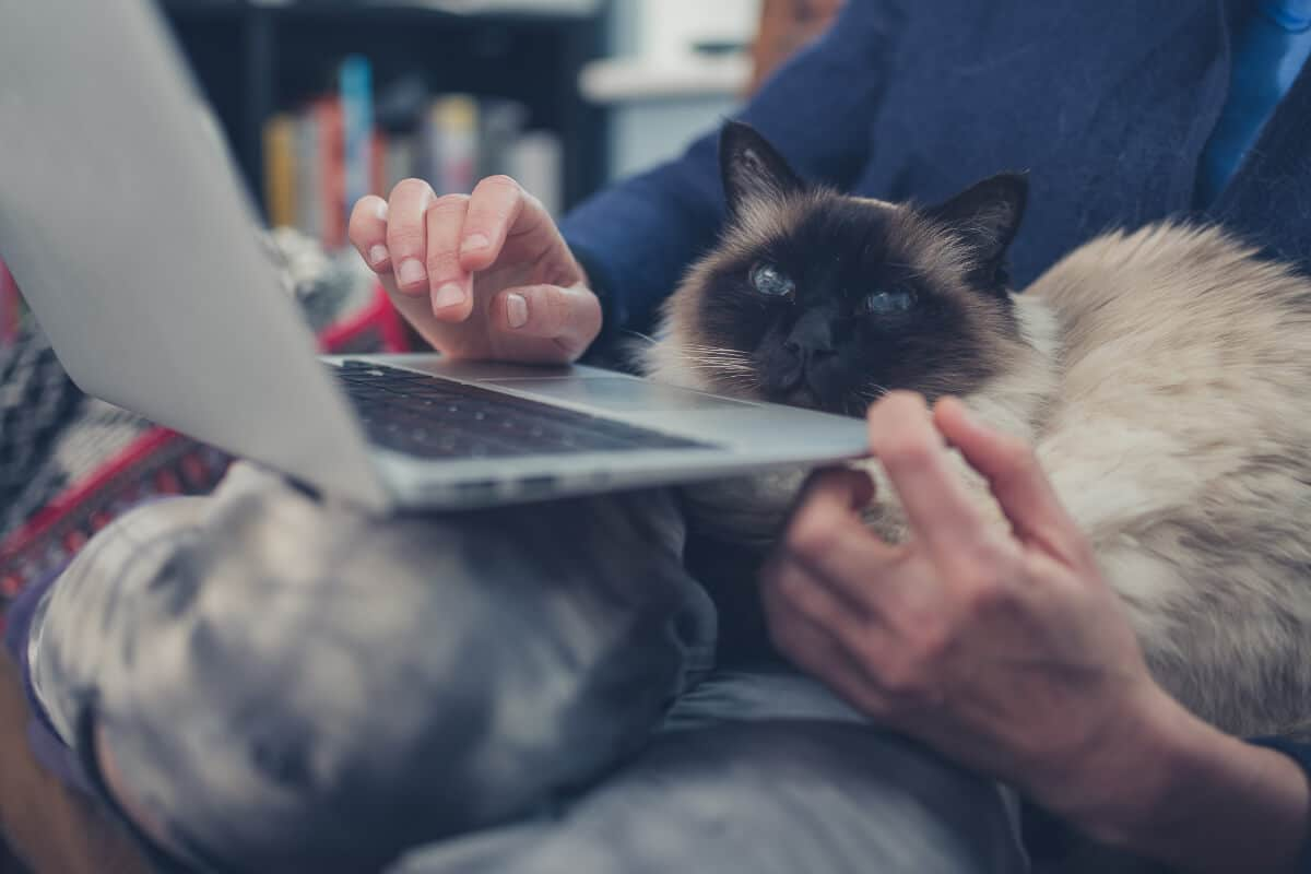 dark faced cat sits on lap with laptop
