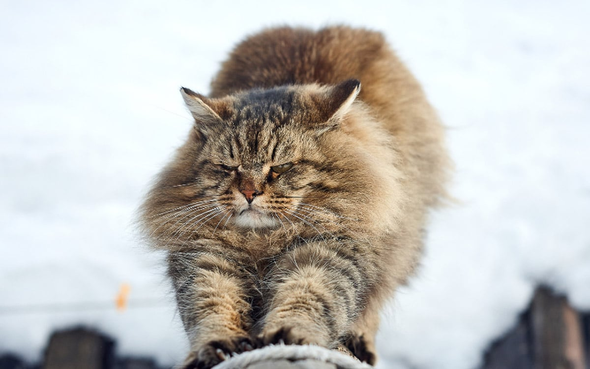 fluffy tabby siberian arches its back