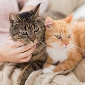 ginger and tabby cat sit on lap