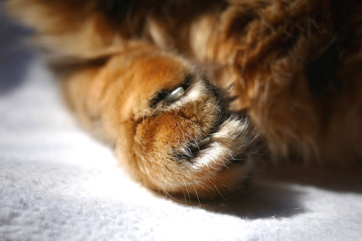 ginger cat claws up close