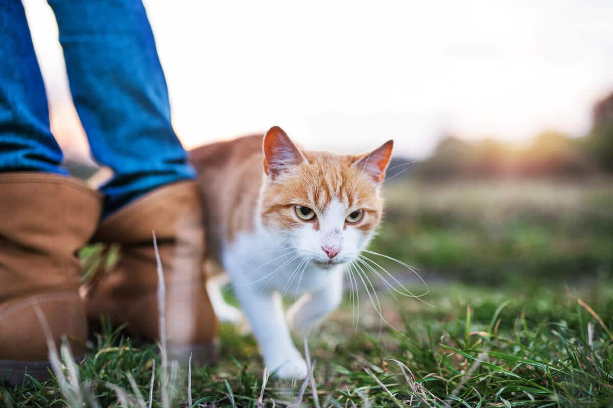 ginger cat rubbing past boots