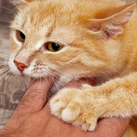 ginger cat with human finger in its mouth