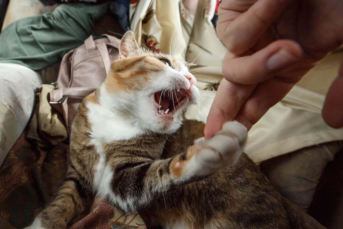 ginger tabby cat with mouth open and paw grabbing finger